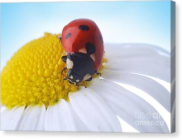 Red Ladybug Canvas Print by Boon Mee