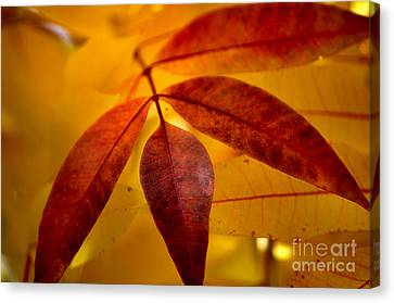 Red Leaves At Dawn Canvas Print by Deb Halloran