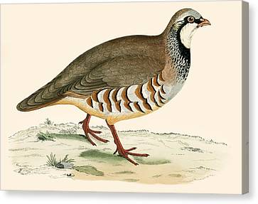 Red Legged Partridge Canvas Print by Beverley R Morris