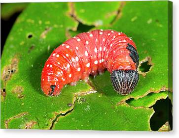 Red Lepidopteran Larva Canvas Print by Dr Morley Read