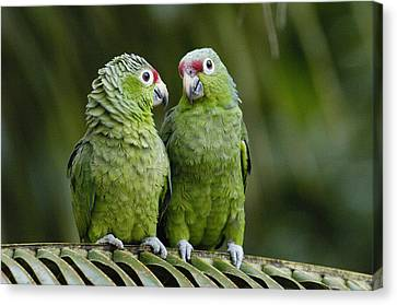 Red-lored Parrots Ecuador Canvas Print by Pete Oxford
