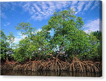 Red Mangrove East Coast Brazil Canvas Print by Pete Oxford