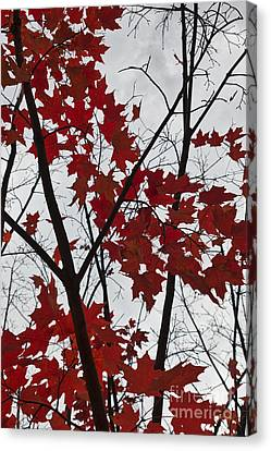 Red Maple Branches Canvas Print by Ana V Ramirez