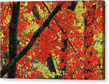 Red Maple Close-up, Sebago Lake State Canvas Print by Michel Hersen