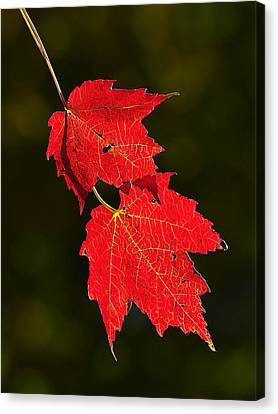 Red Maple In Fall Canvas Print by Bill Caldwell -        ABeautifulSky Photography