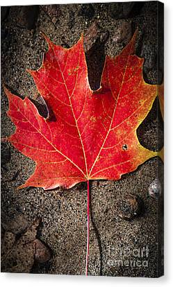 Red Maple Leaf In Water Canvas Print by Elena Elisseeva
