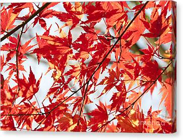 Red Maple Leaves Canvas Print by Delphimages Photo Creations