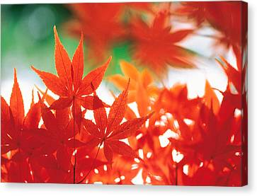 Red Maple Leaves Canvas Print by Panoramic Images