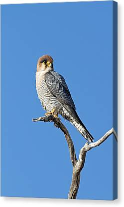 Red-necked Falcon Perched On A Branch Canvas Print by Tony Camacho