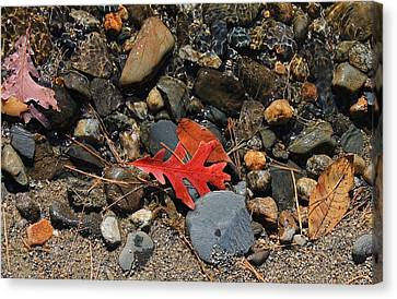 Red Oak Leaf Canvas Print by Michael Saunders