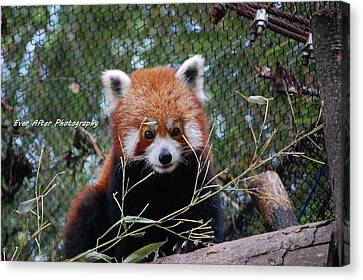 Red Panda Canvas Print by Jade Thomas