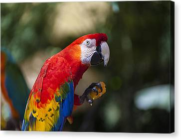 Red Parrot  Canvas Print by Garry Gay