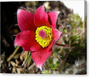 Red Pasque Flower - Closeup Canvas Print by Kerstin Ivarsson