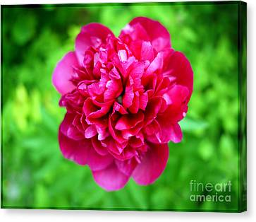 Red Peony Flower Canvas Print by Edward Fielding