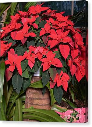 Red Poinsettia Canvas Print by Kathleen Struckle