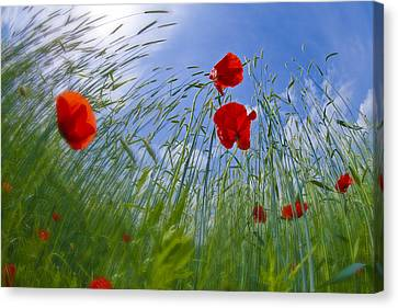 Red Poppies And Blue Sky Canvas Print by Melanie Viola