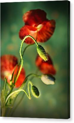 Red Poppies In The Evening Canvas Print by Jaroslaw Blaminsky