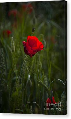 Red Poppy Canvas Print by Svetlana Sewell