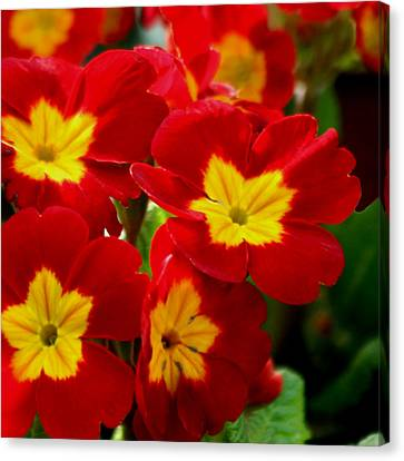 Red Primroses Canvas Print by Art Block Collections