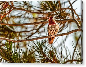 Red Rock Country Hummingbird Canvas Print by Bob and Nadine Johnston
