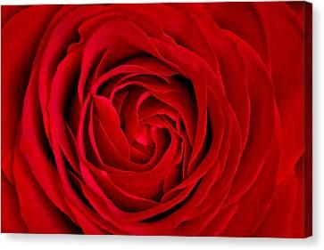 Red Rose Canvas Print by Aqnus Febriyant