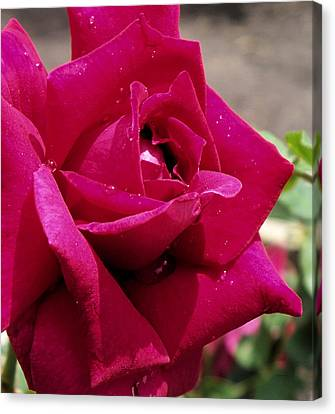 Red Rose Up Close Canvas Print by Thomas Woolworth