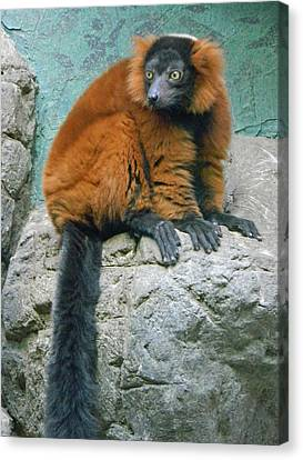 Red Ruffed Lemur Canvas Print by Emmy Marie Vickers