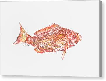 Red Snapper Against White Background Canvas Print by Nancy Gorr