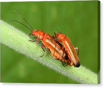 Red Soldier Beetles Canvas Print by Nigel Downer