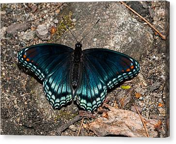 Red Spotted Purple Butterfly Canvas Print by Lara Ellis