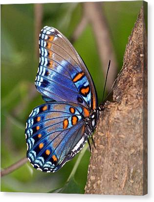 Red Spotted Purple Butterfly Canvas Print by Sandy Keeton