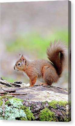Red Squirrel Canvas Print by Colin Varndell