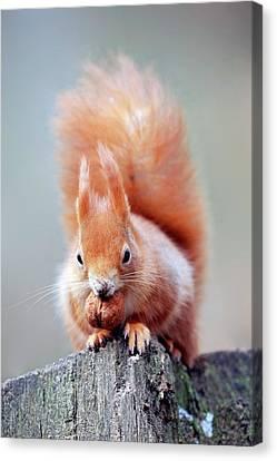 Red Squirrel Eating A Nut Canvas Print by Bildagentur-online/mcphoto-schulz