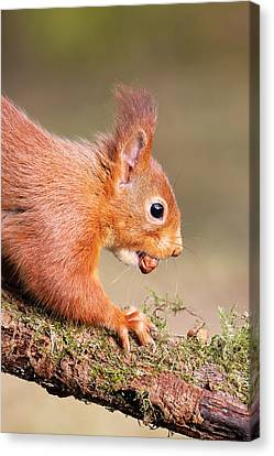 Red Squirrel On Log Canvas Print by Grant Glendinning