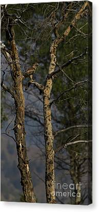 Red-tail Hawk   #0596 Canvas Print by J L Woody Wooden