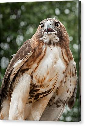 Red Tail Hawk Canvas Print by Bill Wakeley