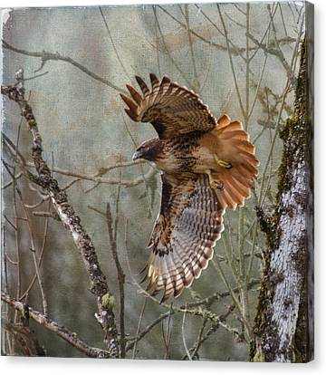 Red-tail Hawk In Flight Canvas Print by Angie Vogel