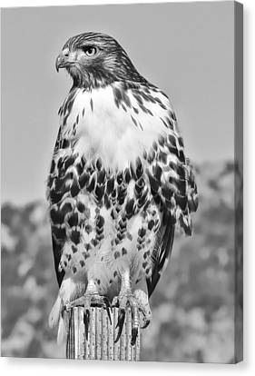 Red Tail Hawk Youth Black And White Canvas Print by Jennie Marie Schell