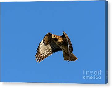 Red-tail Hover Canvas Print by Mike  Dawson