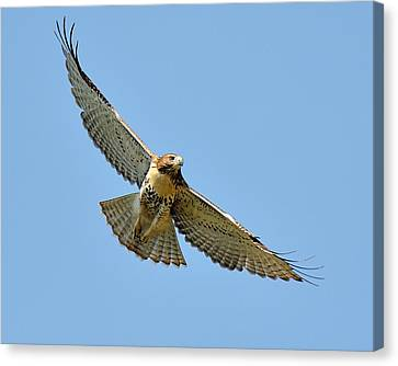 Red Tail In Flight Canvas Print by Angel Cher