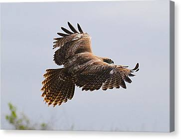 Red Tail Take Off Canvas Print by Paul Marto