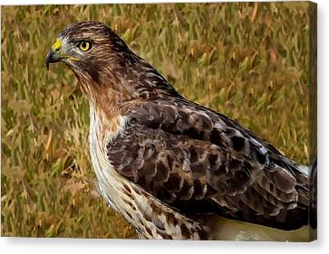 Red Tailed Hawk Close Up Canvas Print by John Absher