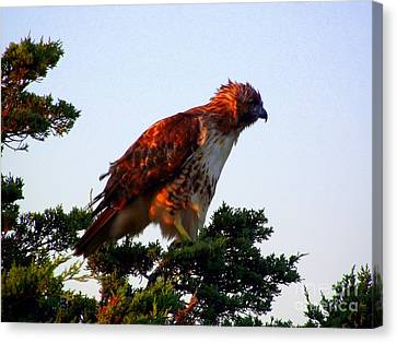 Red-tailed Hawk Fluff Up Canvas Print by CapeScapes Fine Art Photography