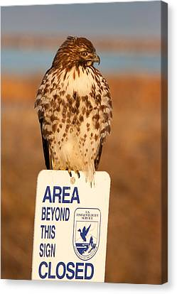Red Tailed Hawk Lower Klamath National Wildlife Refuge Northern California Canvas Print by Ram Vasudev