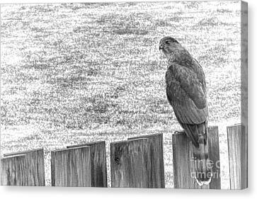 Red Tailed Hawk  Canvas Print by Olivier Le Queinec