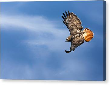 Red Tailed Hawk Soaring Canvas Print by Bill Wakeley