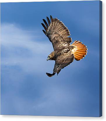 Red-tailed Hawk Soaring Square Canvas Print by Bill Wakeley