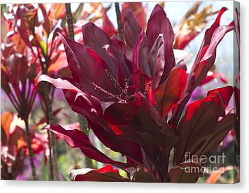 Red Ti - Cordyline Terminalis - The Queen Of Tropical Foliage Canvas Print by Sharon Mau