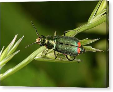 Red-tipped Flower Beetle Canvas Print by Nigel Downer