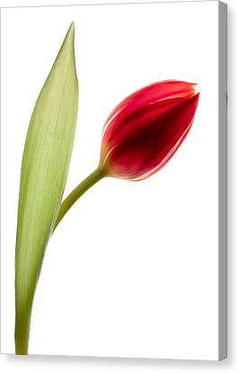 Red Tulip Canvas Print by Dave Bowman